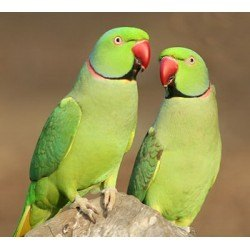 A Guide to Asiatic Parrots (Indian Ringnecks) for Sale