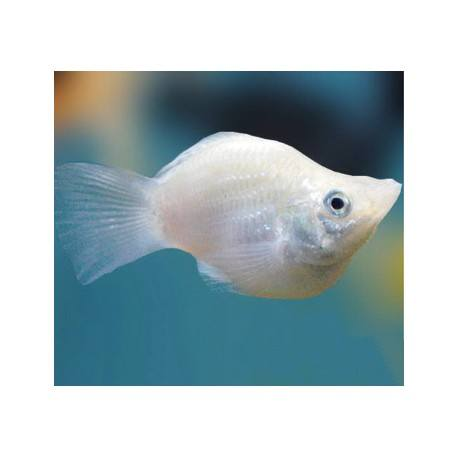 Assorted balloon molly fish for sale enfield produce pet for Outdoor fish for sale