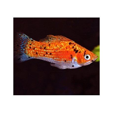 Molly Fish For Sale Enfield Produce Pet Garden Supplies