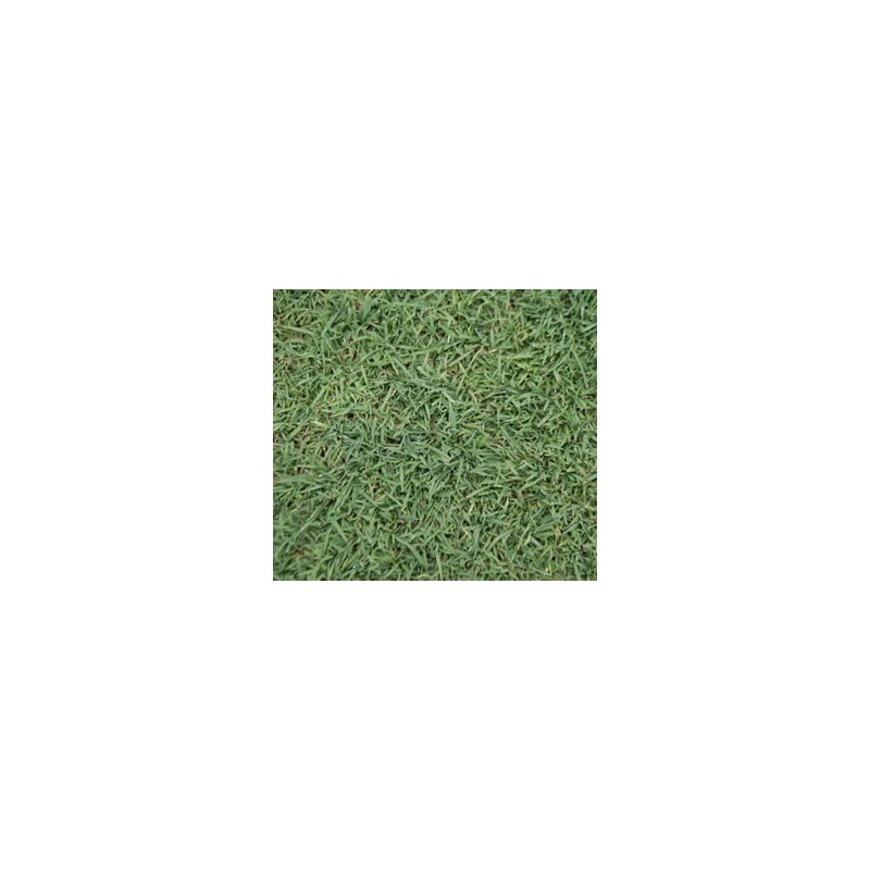 Queensland Blue Couch Lawn Seed 100 Pure Not A Blend