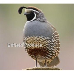 Quails For Sale - Enfield Produce: Pet & Garden Supplies