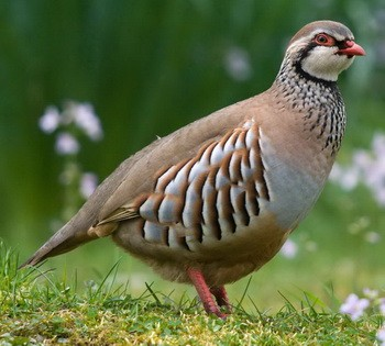Partridges for Sale - Sydney @ Strathfield Pet Shop