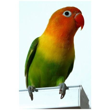 Fischer Lovebirds for Sale Sydney - ENFIELD PRODUCE