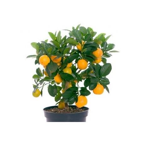Fruit trees for sale sydney enfield produce for Fruit trees for sale
