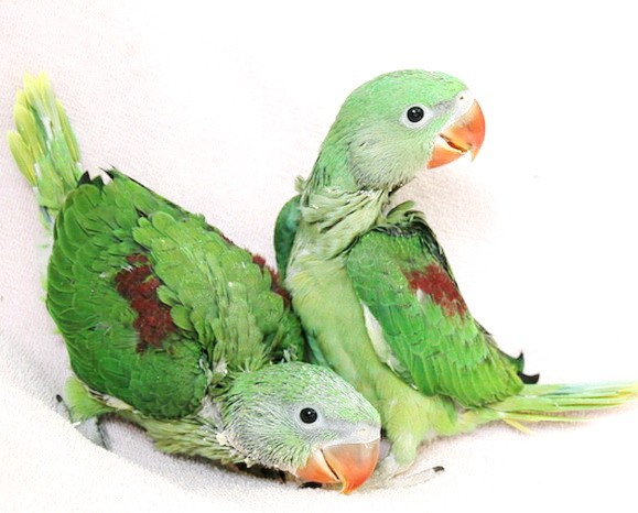 Hand Raised Baby Alexandrine Parrots for Sale - ENFIELD PRODUCE
