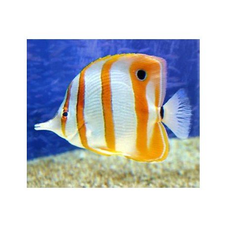 Tropical fish for sale sydney sydney for Fish for pets