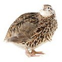 Quails For Sale