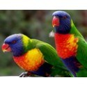 Lorikeets for sale