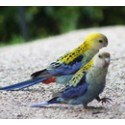 Other Parrots for Sale
